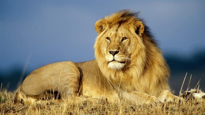 ¿Cuánto vive el león?
