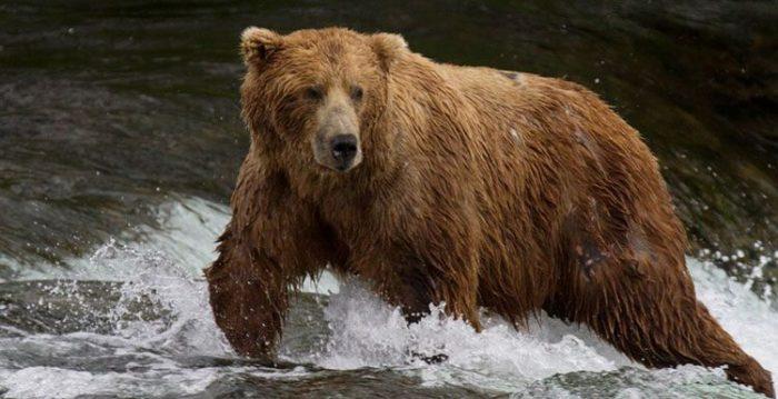 ¿Cuánto vive un oso pardo?