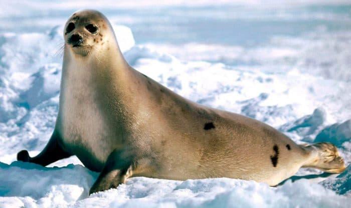 ¿Cuánto vive una foca?