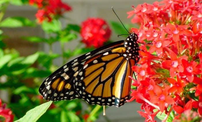 ¿Cuánto vive una mariposa monarca?