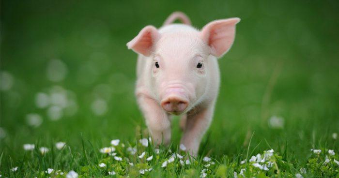 ¿Cuánto vive un cerdo?