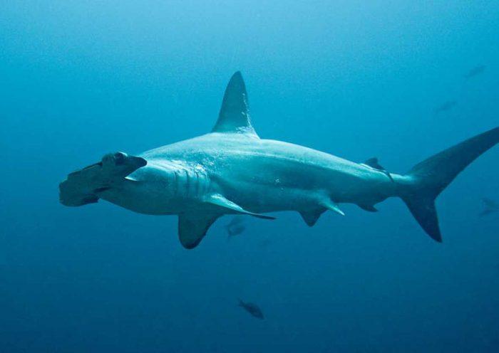 ¿Cuánto vive un tiburón martillo?