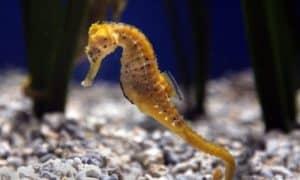 ¿Cuánto vive un caballito de mar?