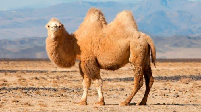 ¿Cuánto vive el camello?