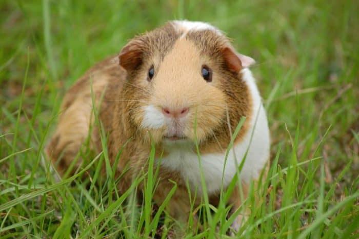 ¿Cuánto vive un conejillo de indias?
