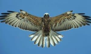 ¿Cuánto vive un halcón?