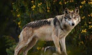 ¿Cuánto vive un lobo mexicano?