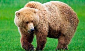 ¿Cuánto vive un oso?