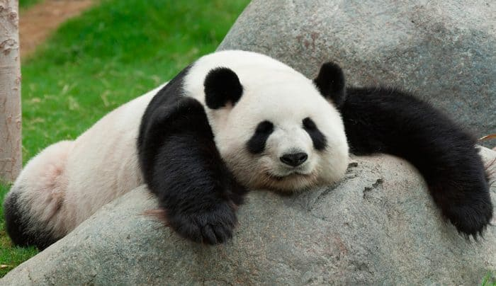 ¿Cuánto vive un oso panda?