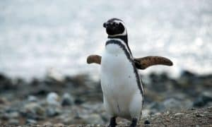 ¿Cuánto vive un pingüino?