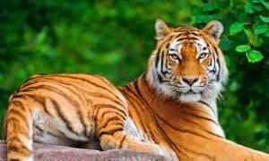 ¿Cuánto vive un tigre?