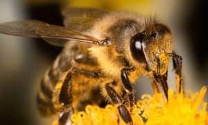 ¿Cuánto vive una abeja?