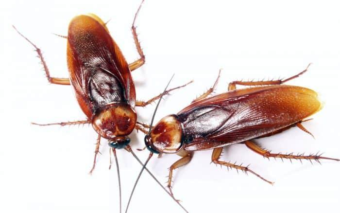 ¿Cuánto vive una cucaracha?