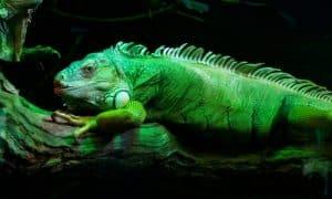 ¿Cuánto vive una iguana verde?
