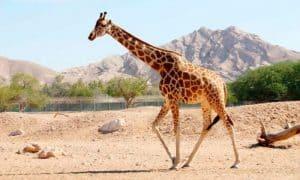 ¿Cuánto vive una jirafa?