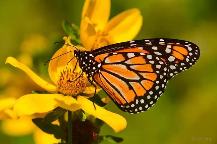 ¿Cuánto vive una mariposa?