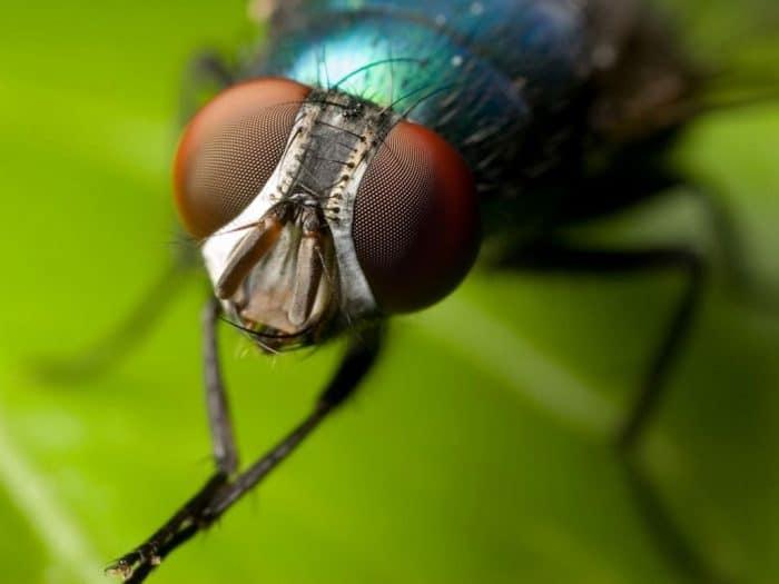 ¿Cuánto vive una mosca?