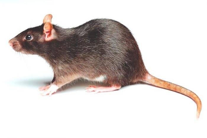 ¿Cuánto vive una rata?