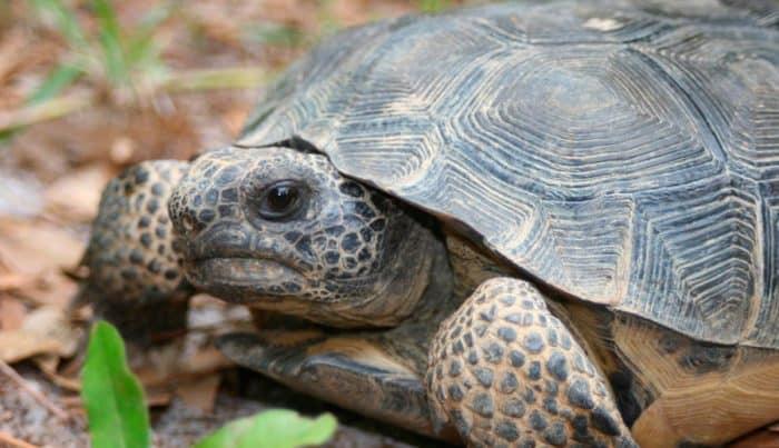 ¿Cuánto vive una tortuga terrestre?